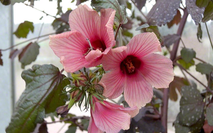roter hibiskus pflanze hibiscus acetosella hibiskus haarstrang hundszunge pflanzen. Black Bedroom Furniture Sets. Home Design Ideas