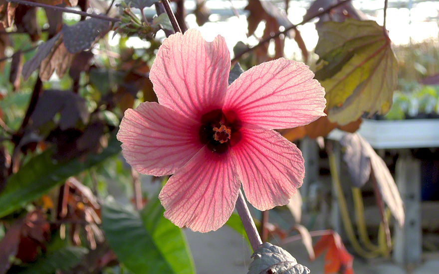 roter hibiskus saatgut hibiscus acetosella hibiskus haarstrang hundszunge pflanzen. Black Bedroom Furniture Sets. Home Design Ideas