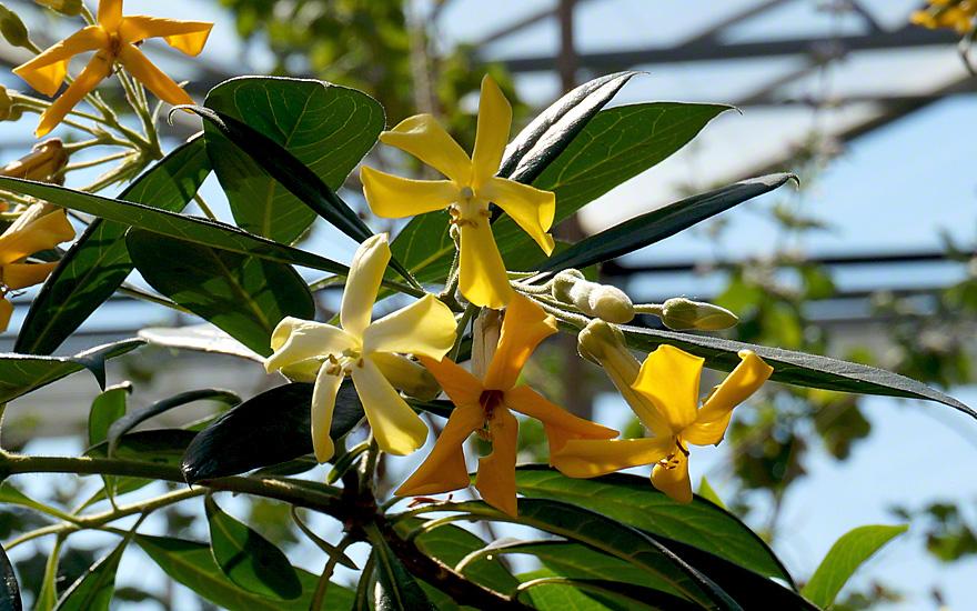 australische frangipani pflanze hymenosporum flavum neue sorten 2016 neu 2016. Black Bedroom Furniture Sets. Home Design Ideas