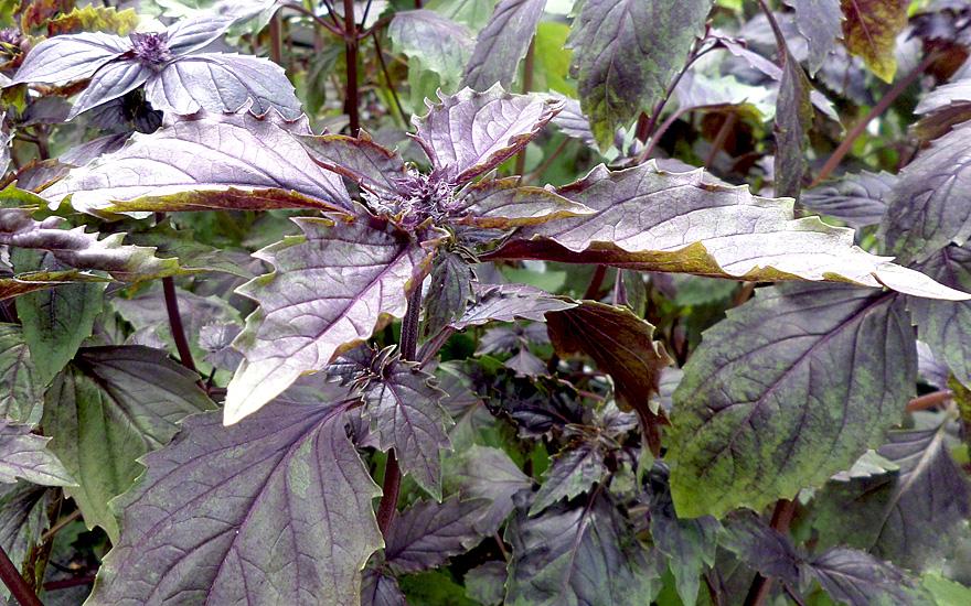 basilikum 39 aromatto 39 saatgut ocimum basilicum basilikum babantsi bruchkraut pflanzen. Black Bedroom Furniture Sets. Home Design Ideas