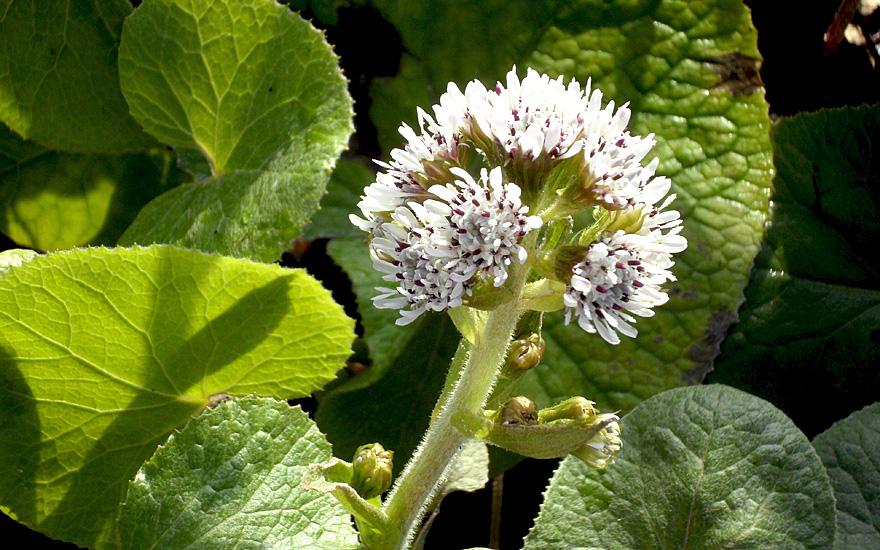 vanille pestwurz pflanze petasites fragrans bl tendufter duftpflanzen nach verwendung. Black Bedroom Furniture Sets. Home Design Ideas