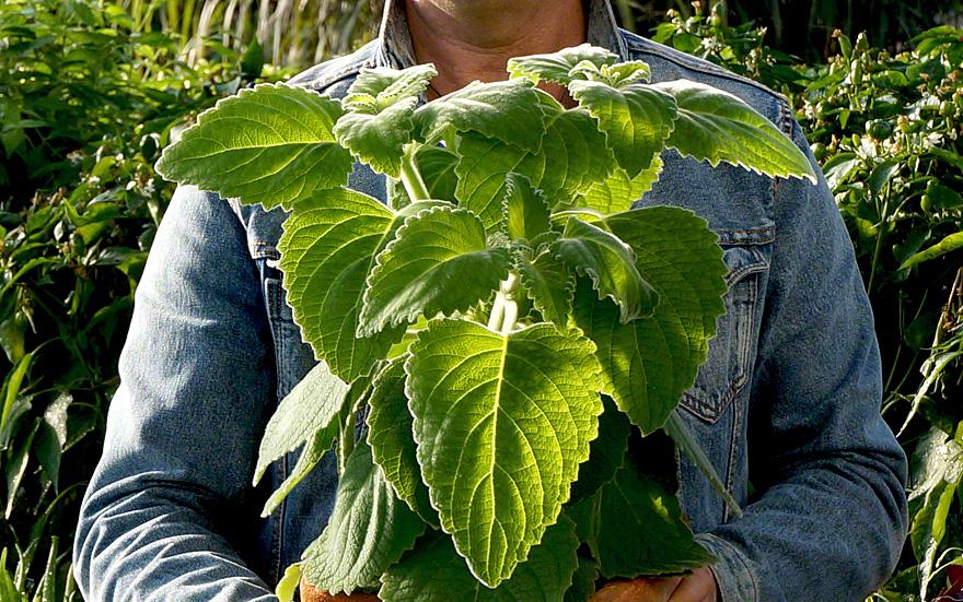 Pflanze Mit Großen Blättern australisches zitronenblatt pflanze plectranthus species mount