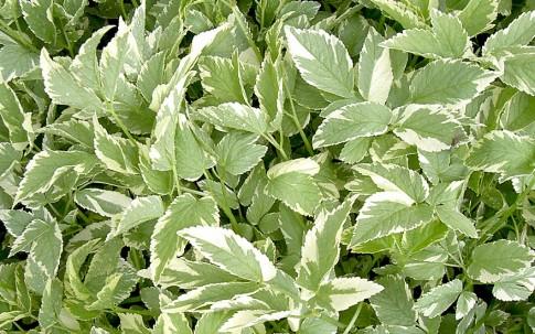 Geißfuß, weißbunt (Pflanze)