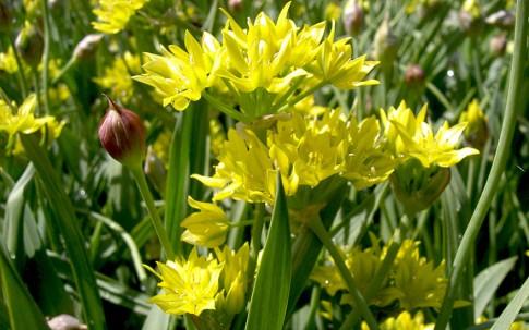 Goldlauch (Pflanze)