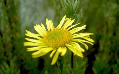 Salz-Alant (Pflanze)