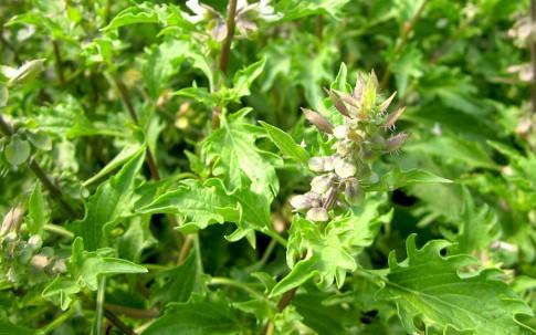 Basilikum 'Zanzibar' (Pflanze)