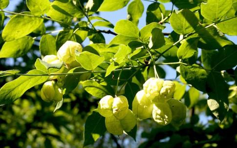 Pimpernuss (Pflanze)