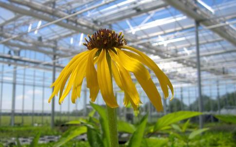 Echinacea, gelb blühend (Saatgut)