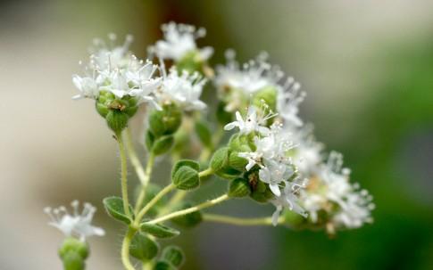 Ragani (Kreta-Oregano) (Pflanze)