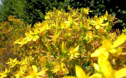 Johanniskraut (Pflanze)