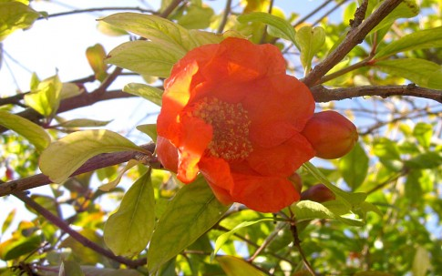Granatapfelbaum (Saatgut)