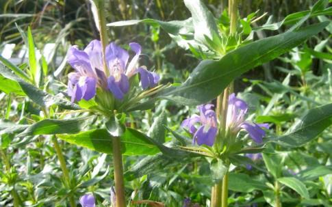 Kokilaksha (Pflanze)