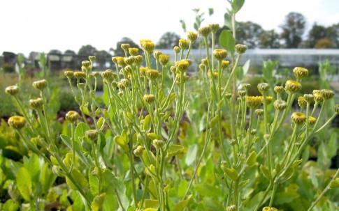 Marienblatt (Pflanze)