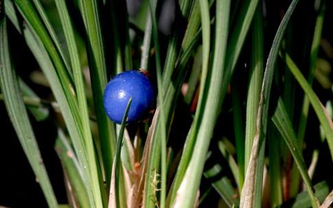 Mai Dong (Pflanze)