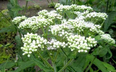 Wasserhanf (Pflanze)