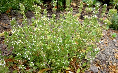 Piemontesischer Limonenthymian (Pflanze)