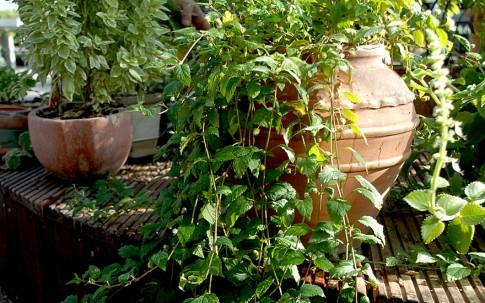 Aztekisches Süßkraut (Saatgut)