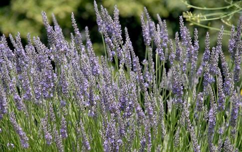 Lavendel 'Maillette' (Pflanze)