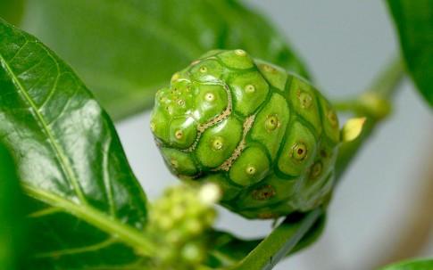Noni (Pflanze)