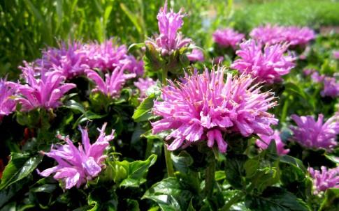 Goldmelisse 'Petite Delight' (Pflanze)