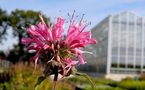 Goldmelisse, rosa blühend (Pflanze)