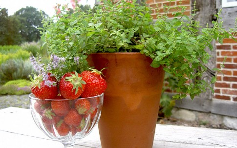 Erdbeerminze (Pflanze)