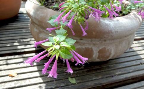 Chilenischer Minzestrauch (Pflanze)