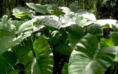 Tajerblatt (Pflanze)