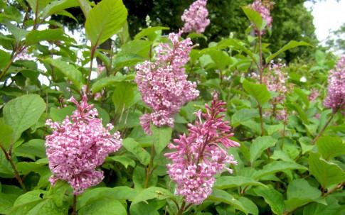 Kanadischer Flieder (Pflanze)