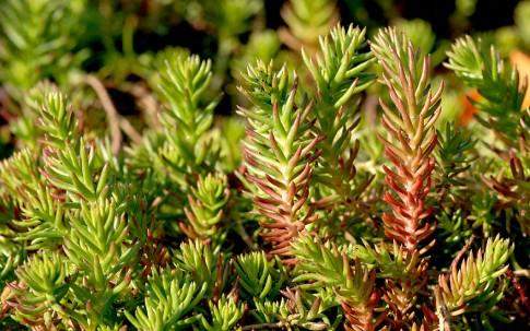 Tripmadam, grün (Saatgut)