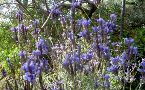 Kanarischer Lavendel (Pflanze)