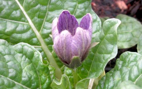 Alraune, frühlingsblühend (Pflanze)