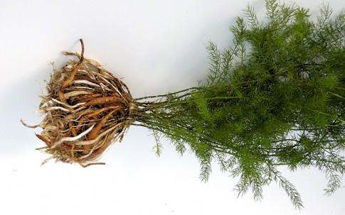 Shatavari (Pflanze)