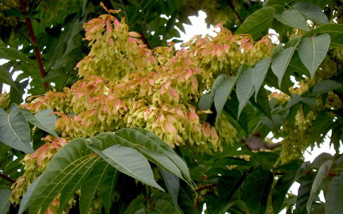 Götterbaum (Pflanze)