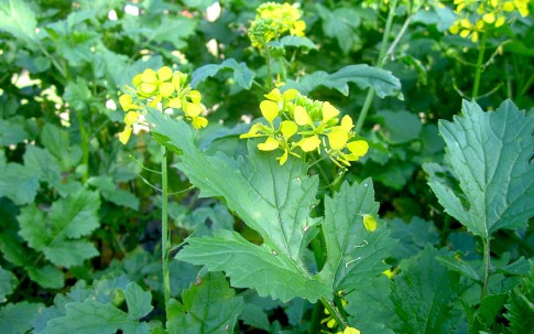 Weißer Senf (Saatgut)