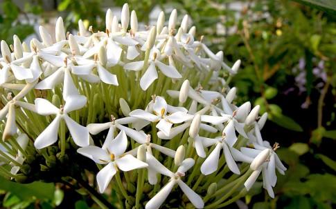 Indische Pavetta (Pflanze)