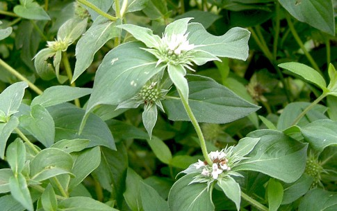 Cherokee-Bergminze (Pflanze)