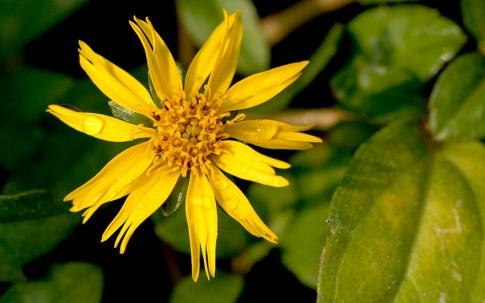 Pita Bhringaraj (Pflanze)
