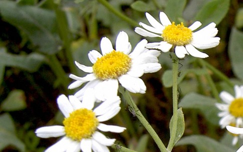Kampferkraut (Pflanze)