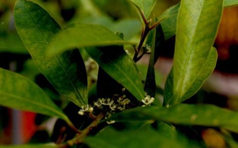 Mate-Tee (Pflanze)