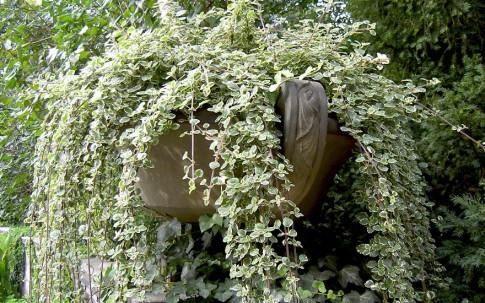Weihrauchpflanze (Pflanze)