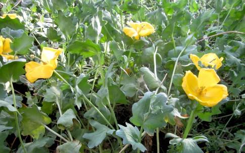 Hornmohn, gelb blühend (Saatgut)
