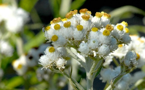 Silber-Immortelle (Pflanze)
