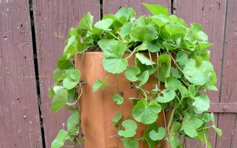 Gotu Kola (Pflanze)