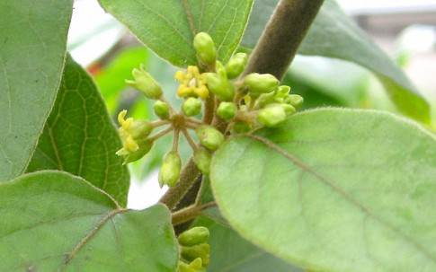 Gurmar (Pflanze)