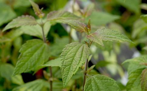 Mexikanisches Traumkraut (Pflanze)