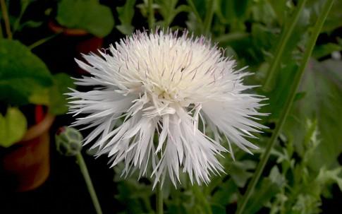 Duft-Flockenblume (Saatgut)