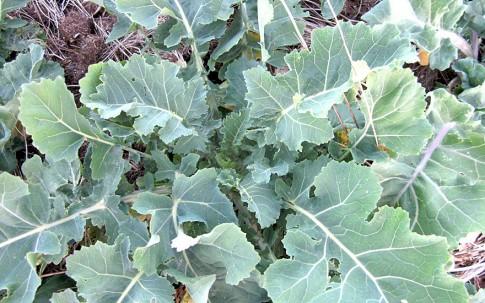 Ewiger Kohl (Pflanze)
