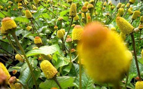 Parakresse (Pflanze)