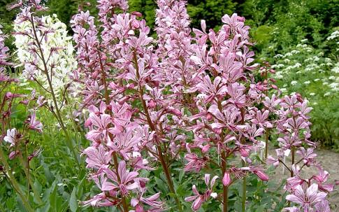 Diptam (Pflanze)